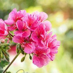 10 καλοκαιρινά λουλούδια που κλέβουν την παράσταση! Geraniums, Pretty Pictures, Dandelion, Home And Garden, Rose, Nature, Plants, Gardening, Decoration