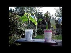 A record of further mango saplings grown from seeds and some with more than one trunk. I have tried to keep the videos short and ended up with more of them. How To Grow Bonsai, Mango Tree, Seeds, Videos, Plants, How To Make, Plant, Planets