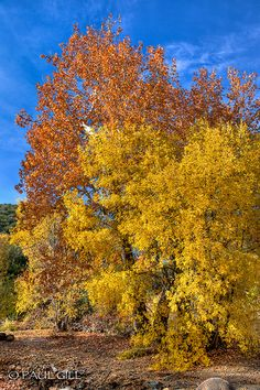 Sycamore & Ash trees in autumn, Seven Springs, Tonto National Forest, Arizona