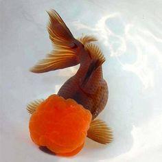 تربية ورعاية اسماك الجولد فيش goldfish keeping - منتدى الاسماك العربى