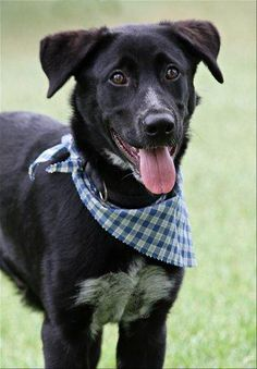 ***9/3/14 STILL LISTED***~Oso~ Border Collie & Labrador Retriever Mix • Young • Male • Large Humane Society of Southeast Texas Beaumont, TX
