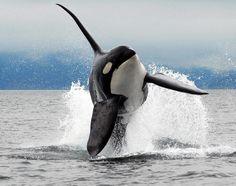 Orca breach, Canada