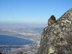 """Room with a View - This Guy Has a Lovely Perch on Table Mountain, But More Quarters in Cape Town is Comfier from the FoodWaterShoes article """"A Home Away From Home in the """"Mother City"""" - More Quarters in Cape Town, South Africa"""" - Place to Stay Apartments Kloof Street"""