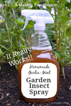 Homemade Garlic-Mint Natural Garden Insect Spray - this stuff is amazing! Check out the before and after of bug-eaten basil to see how it works at An Oregon Cottage.