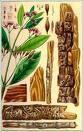 China officinalis - la homeopatía de Shankaran
