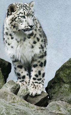 A Young Clouded Snow Leopard Takes in the View While Standing Atop a Craggy Mountain. Jaguar, Beautiful Cats, Animals Beautiful, Animals And Pets, Cute Animals, Carnivore, Ghost Cat, Jungle Cat, Wild Creatures