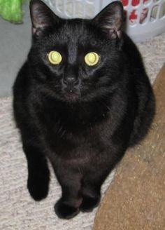 """Meet Mulch, a Petfinder adoptable Domestic Short Hair-black Cat 