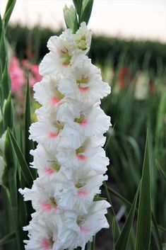 exotic flowers names and their meanings Gladiolus Bulbs, Gladiolus Flower, Shade Perennials, Shade Plants, Unusual Flowers, Beautiful Flowers, Flower Names, Moon Garden, Container Flowers