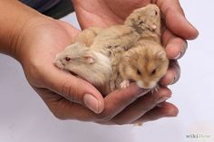 Prepare for a Pet Hamster for the First Time