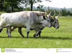 Gray Cattle in Hungary