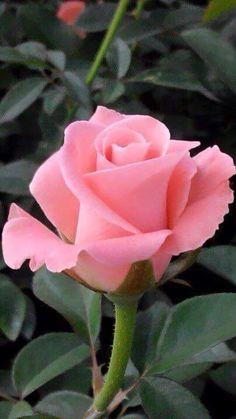 my favorite flower rose