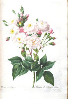 Botanical - Flower - Les Roses 36