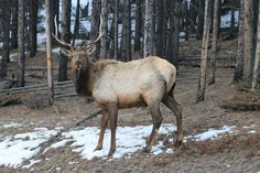 young elk Baniff BC  Photos & Videos: Animals - The Weather Network