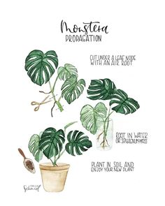 Yes it really is that easy - Happy Monstera Monday! Great work by . House Plants Decor, Garden Plants, Indoor Plants, Plant Art, Plant Decor, Moss Plant, Plant Leaves, Decoration Plante, House Plant Care