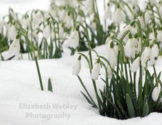 Snowdrops Art Print by geraniumsred Lake District, Preston, Place Card Holders, Art Prints, Plants, Cards, Facebook, Christmas, Art Impressions