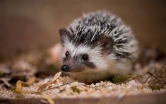 Download wallpapers hedgehog, autumn, forest, yellow dry leaves, fallen leaves, wildlife, forest inhabitants