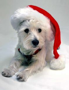 Christmas Westie Merry Christmas Card Puppy Holiday Dogs Santa Claus Dog Puppies Xmas West highland White Terrier