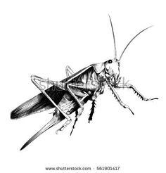 grasshopper locusts sketch vector