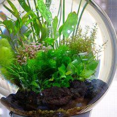【aquashopwasabi】さんのInstagramをピンしています。 《昨年、当店にて展示していた直径60cm、水量100リットルオーバーの球体水草水槽🌍 どんな形の水槽を使っても水草はいつも魅力的です💕 #aquadesignamano#aquaticplants#aquashopwasabi#aquarium#natureaquarium#waterplants#plants#熱帯魚#moss#flowerarrangement#greeninterior#biorb#インテリア#indoorplants#ada#aquaplants#botanical#aquascape#aquascaping #水草#水草水槽#ネイチャーアクアリウム#ボトルアクアリウム#観葉植物#金魚#アクアリウム#メダカ#interior#水槽#フラワーアレンジメント》
