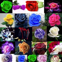 Rose seeds Pink Black Red Purple coffee Blue pink green yellow Dragon gold