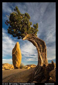 Balanced rock and leaning juniper, Jumbo Rocks. Joshua Tree National Park, California