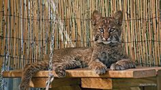 Little Cooper is growing up fast.  He is becoming quite the little hunter.  Soon he will be big enough to be returned to the wild.  Learn more about him at https://BigCatRescue.org/cooper/  Photo captured by Susann Mesna the Explore bobcat Rehab web cam.  Find all the cats� web cams at http://BigCatCams.com