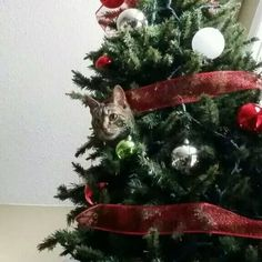 A buddy's cat, apparently he wants to be an ornament. In their 9 foot tree. #cat #christmas #christmastree #catinachristmastree #catornament