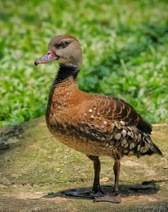 Spotted Whistling Duck (Dendrocygna guttata) New Guinea and Australia
