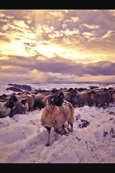 Hill Top Farm @hilltopfarmgirl, nominated her neighbours sheep which I have to say look stunning.