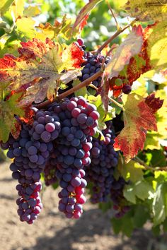 Luscious Fall harvest of the vine ...