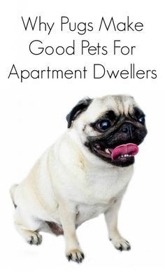 Why Pugs Make Good Dogs For Apartment Dwellers Pug Facts Truths