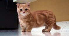 I Never Knew That Munchkin Cats Were A Real Thing, Now I'm Completely Obsessed