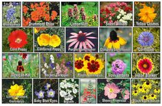 texas wildflower chart - Google Search