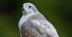 Northern Goshawk, Birds Of Prey, Continents, Austria, This Is Us, Swarovski, Germany, Company Logo, Spirit