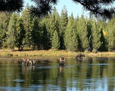 Moose family  by BJM