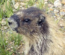 Hoary marmot - the largest member of the squirrel family