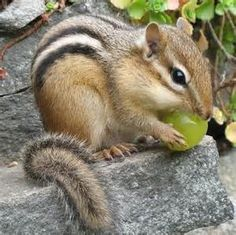 Siberian chipmunk - Bing Images