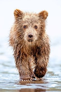Grizzly Bear Cub 1 by Lisa Aikenhead via Animals And Pets, Baby Animals, Funny Animals, Cute Animals, Wild Animals, Grizzly Bear Cub, Bear Cubs, Baby Bears, Cute Bears