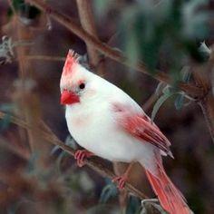 Beautiful albino cardinal  #animal #beautiful #albino #cardinal