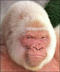 Albino gorilla......amazing face and those eyes look human...