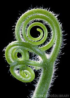 The curled tendrils of Citrullus colocynthis, a climbing plant of the Cucurbitaceae or marrow family. Tendrils are modified leaves or stems, used to grip nearby objects for support. Flower Pictures, Nature Pictures, Spirals In Nature, Micro Photography, Fibonacci Spiral, Plant Art, Patterns In Nature, Fractal Art, Science And Nature