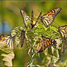 Monarch Reunion; Posted by: Jeannot