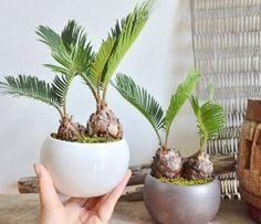 Bonsai Fruit Tree, Bonsai Plants, Bonsai Garden, Fruit Trees, Indoor Palm Trees, Indoor Plants, Fake Plants Decor, Plant Decor, Bonsai Forest