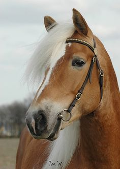 The Haflinger is a relatively small, yet muscular horse breed. Although it stands between 13 and 15 hands high, this horse is not a pony.