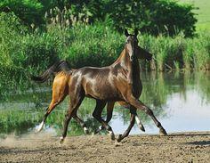Ставропольский конный завод №170 - Замена (Мургаб - Засека)