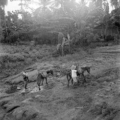 Het winnen van kalizand met behulp van paarden, Madiun, Java.   1951
