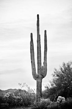 A black and white portrait scenic view into the Sonoran desert of the southwest in North Scottsdale Arizona. A scenic view of a giant saguaro cactus and lush desert.  #Nature #FineArt #Photography #artwork #Gallery #interiordesign #commercialart - #Photo #Art  to decorate your office, home, restaurant, boardroom, waiting room or any commercial space starting at $22 - #CorporateArt by #Photographer Copyright James Insogna www.BoInsogna.com