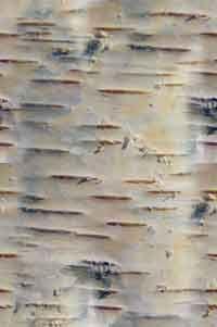 Silver Paper Birch bark