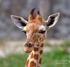 Baby Giraffe Photograph - Baby Giraffe Fine Art Print