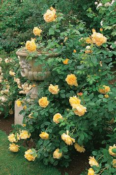 Beautiful, Bountiful Yellow Roses | Content in a Cottage